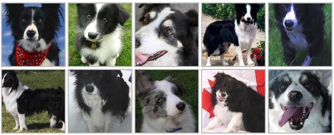 Fotos de Border Collie per a l'app de predicció de races de gos.