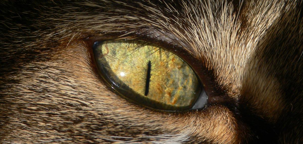 Basetis Cats - Foto de l'ull de la gata Xurri