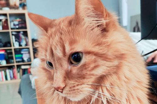 Basetis Cats - Foto del gat Sputnik