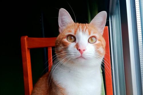 Basetis Cats - Foto del gat Tomàquet